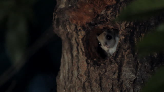squirrel looking out of its nest / dmz (demilitarized zone between south and north korea), goseong-gun - creazione animale video stock e b–roll