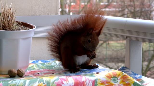 stockvideo's en b-roll-footage met squirrel looks in camera - gereedschap