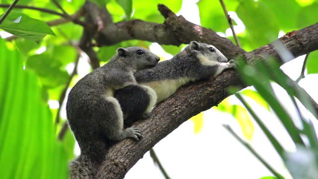 squirrel mating on the tree - mammal stock videos & royalty-free footage