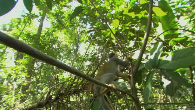 vídeos de stock e filmes b-roll de ms cu squirrel monkey approaching camera, baring teeth, manaus, amazonas, brazil - coragem