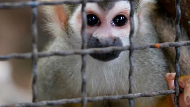 vídeos de stock, filmes e b-roll de macaco esquilo atrás de gaiola - gaiola espaço confinado