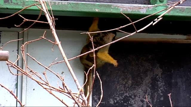 squirrel monkey born at battersea park zoo england london battersea park ext various of squirrel monkey 'toffee' with baby squirrel monkey 'tiffin'... - karamell stock-videos und b-roll-filmmaterial