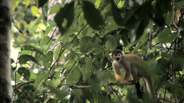 WS squirrel monkey clinging to tree branch and looking around/ monkey jumping from branch/ Manu National Park, Peru