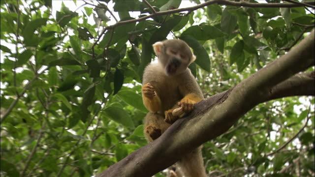 squirrel monkey eating peanut in tree / monkey jungle / miami, florida - 一匹点の映像素材/bロール