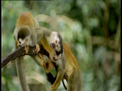 Squirrel Monkey jumps on the back of a Squirrel Monkey at rest before falling off of the branch
