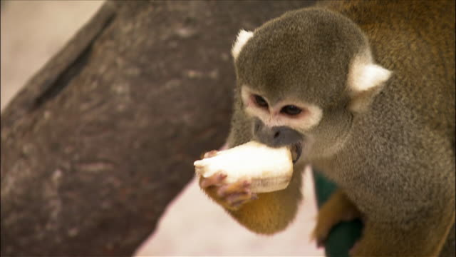 squirrel monkey peeling and eating banana / monkey jungle / miami, florida - peel stock videos & royalty-free footage