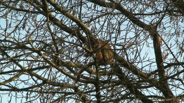 squirrel monkey - animal call stock videos & royalty-free footage