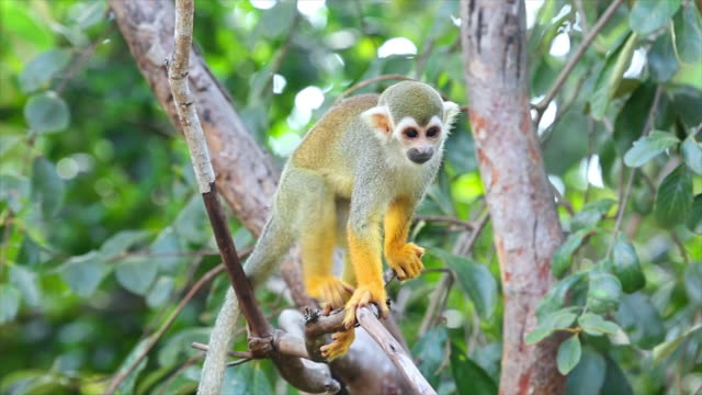 squirrel monkey. - costa rica stock videos & royalty-free footage