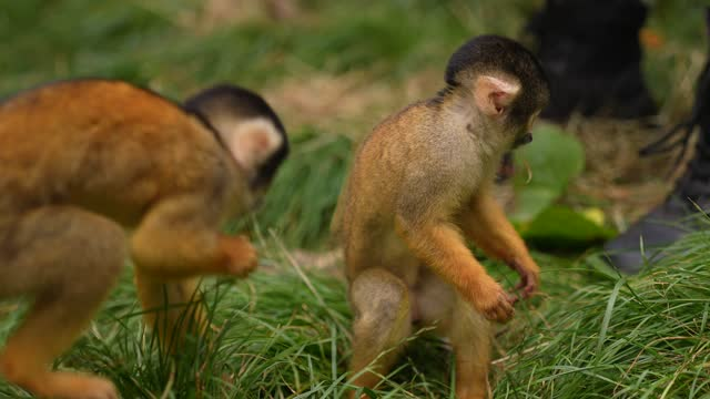 squirrel monkeys during the annual weigh-in at zsl london zoo august 26, 2021 in london, england. - rodent stock videos & royalty-free footage