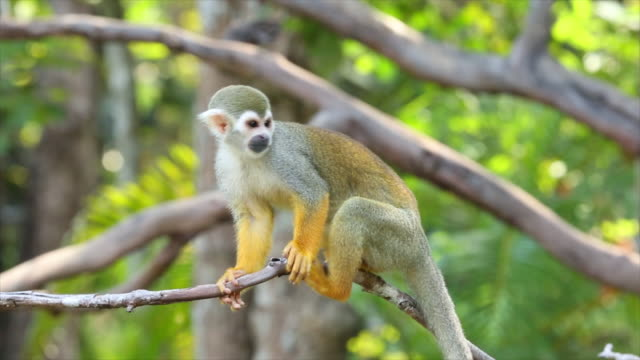 squirrel monkeys in the trees. - living organism stock videos & royalty-free footage