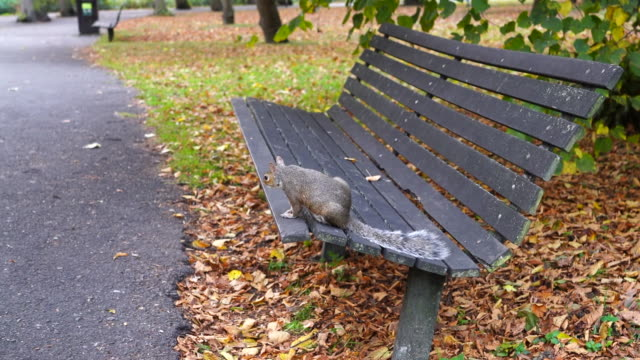 a squirrel on a park bench in autumn , regents park london. - squirrel stock videos and b-roll footage