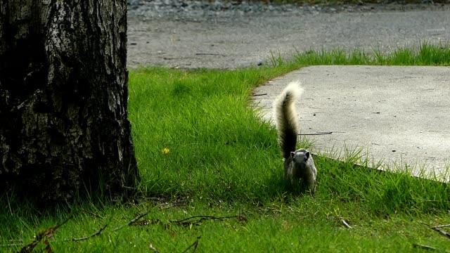 squirrel on green grass - foraggiamento video stock e b–roll