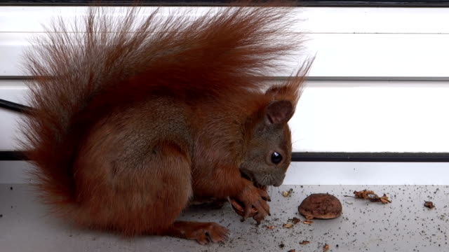 squirrel on the windowsill - walnut stock videos & royalty-free footage
