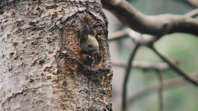a squirrel (sciurus vulgaris coreae) popping its head out of the tree / dmz, south korea - nest stock-videos und b-roll-filmmaterial