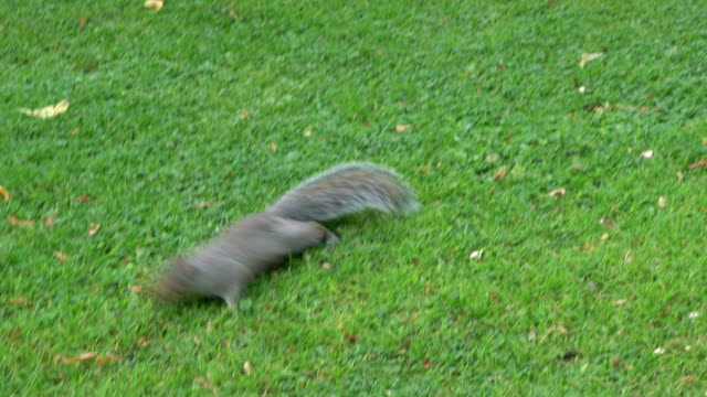 squirrel running on grass - tail stock videos & royalty-free footage