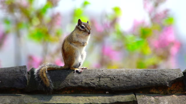 a squirrel sitting on a wall at changdeokgung palace (unesco world heritage site in seoul) - streifenhörnchen stock-videos und b-roll-filmmaterial