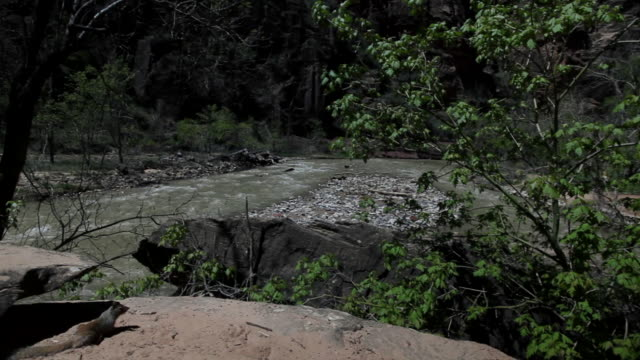 ms pan squirrel sitting on rock nearby river / zion national park, utah, united states  - zion national park stock videos & royalty-free footage