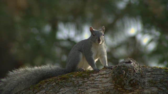 a squirrel stares at the camera while chewing, then leaps from a tree limb. - starren stock-videos und b-roll-filmmaterial