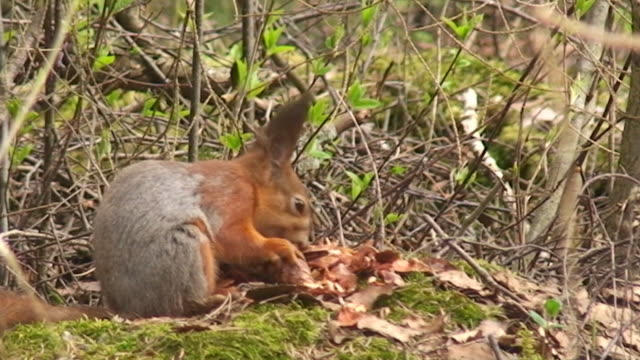 squirrel - pinecone stock videos & royalty-free footage