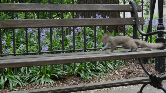 squirrel walking on the bench in new york city - squirrel stock videos and b-roll footage