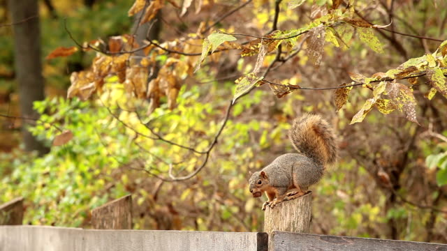 squirrel with a nut - squirrel stock videos and b-roll footage