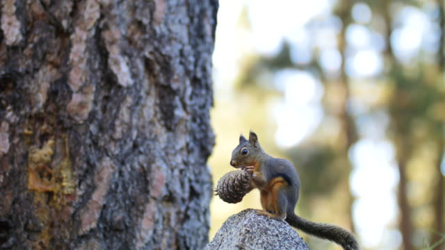 squirrel with pine cone, close up - pigna strobilo video stock e b–roll