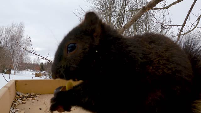 squirrels are among the cheekiest of all the creatures that we are likely to see at the back yard bird feeders. and as adorable and entertaining as... - take that stock videos & royalty-free footage