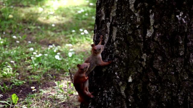 stockvideo's en b-roll-footage met eekhoorns paring - parende dieren