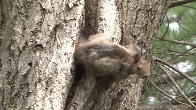 squirrel's nest in tree hollow - squirrel stock videos and b-roll footage