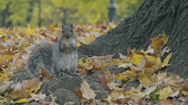 squirrels - chipmunk stock videos & royalty-free footage