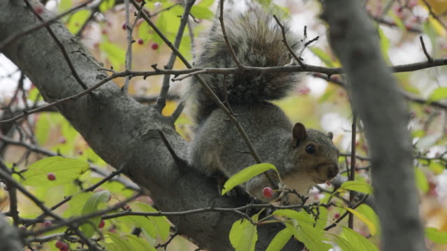squirrels - squirrel stock videos and b-roll footage