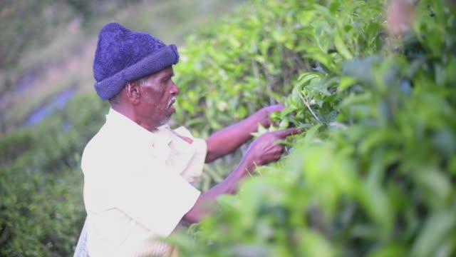 sri lanka tea plantation, a male tea picker picking tea in the sri lanka central highlands, tea country, sri lanka, asia  - ワーキングシニア点の映像素材/bロール
