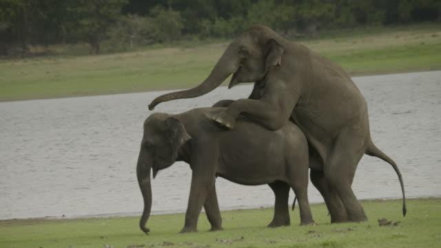sri lankan elephants mating, sri lanka. - penis stock videos & royalty-free footage