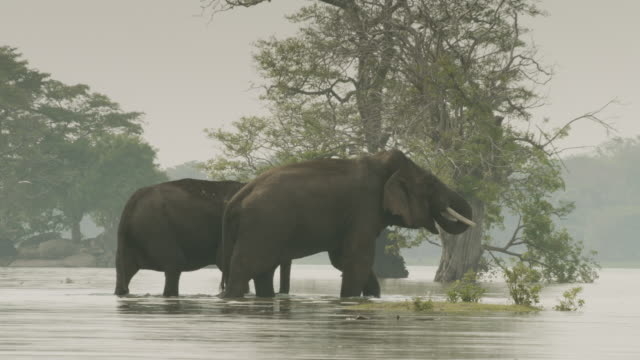 sri lankan elephants wade in lake, sri lanka. - walking in water stock videos & royalty-free footage