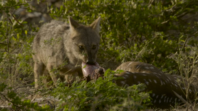 sri lankan jackal feeds on deer, sri lanka. - 死んでいる動物点の映像素材/bロール
