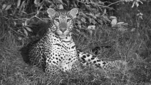 sri lankan leopard looks around, sri lanka. - sri lanka stock videos & royalty-free footage