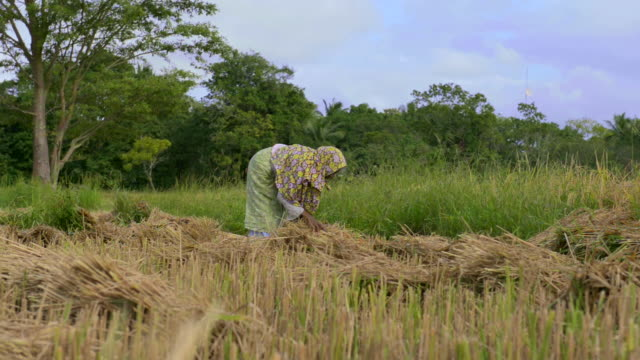 sri lankan woman working in wheat fields just outside dambulla, central province, sri lanka, asia  - sri lankan culture stock videos and b-roll footage