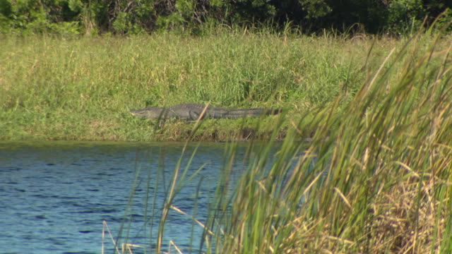 st. augustine, fl, u.s. - alligators at shore of bay, on monday, january 6, 2020. - named wilderness area stock videos & royalty-free footage