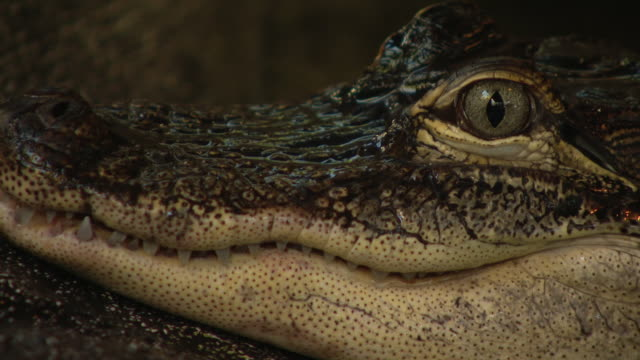 wgn st augustine fl us alligators in pond at st augustine alligator farm zoological park on monday january 6 2020 - animal head stock videos & royalty-free footage