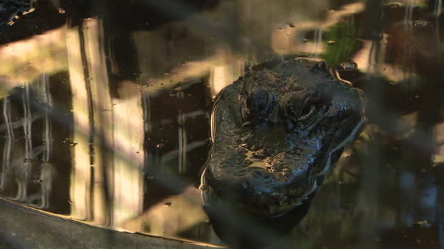 st. augustine, fl, u.s. - alligators in pond at st. augustine alligator farm zoological park, on monday, january 6, 2020. - captive animals stock videos & royalty-free footage