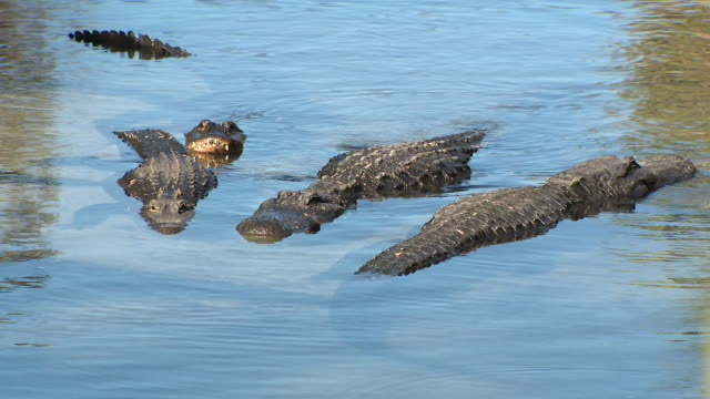 st. augustine, fl, u.s. - alligators in pond at st. augustine alligator farm zoological park, on monday, january 6, 2020. - alligator stock videos & royalty-free footage