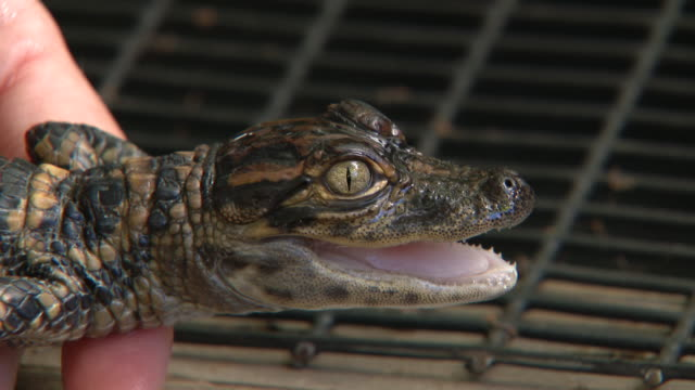 wgn st augustine fl us examining of young alligator at st augustine alligator farm zoological park on monday january 6 2020 - tape measure stock videos & royalty-free footage