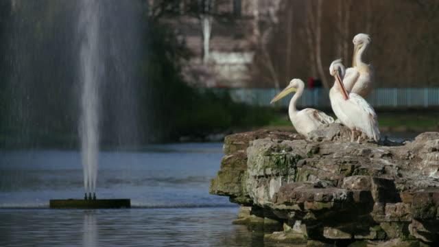 vidéos et rushes de st james's park pelicans & buckingham palace st james's  park  london - petit groupe d'animaux