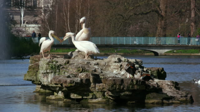 st james's park pelicans & buckingham palace st james's  park  london - pelican stock videos & royalty-free footage
