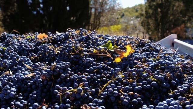 vídeos y material grabado en eventos de stock de pila de uva roja fresca después de la cosecha - uva