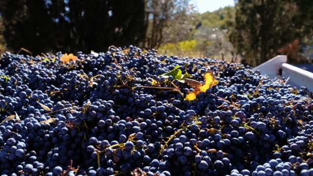 vídeos de stock e filmes b-roll de stack of fresh red grape stack after harvest - uvas