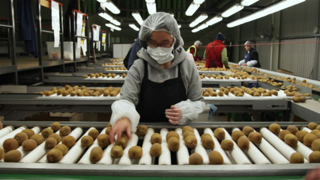 vidéos et rushes de ms staff checking kiwi fruits for blemishes before being packed for export, kati kati, bay of plenty, new zealand - contrôle qualité