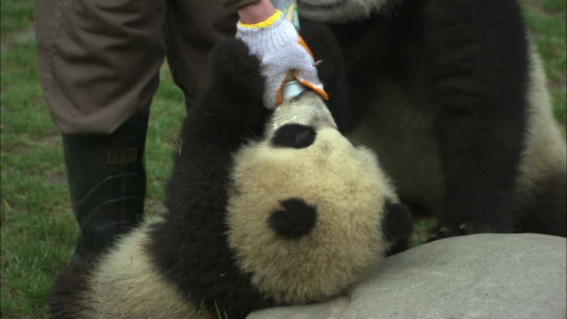 A staff member feeds a panda cub from a bottle while another cub vies for attention at the Wolong National Nature Reserve.