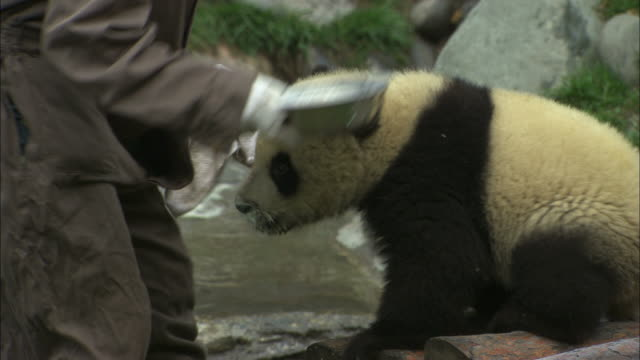 A staff member wipes the mouth of a panda cub at the Wolong National Nature Reserve.