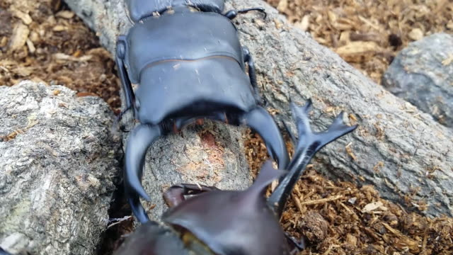 stag beetle and rhinoceros beetle fighting - horned stock videos & royalty-free footage